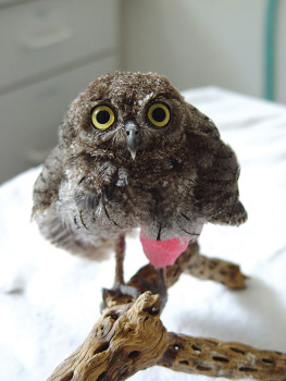 A Screech Owl at Tucson Wildlife Center