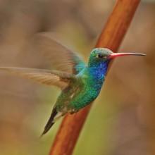 Male Broad-billed Hummingbird in flight