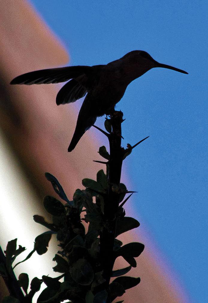 Second Place: Lauren Hillquist - Hummingbird Silhouette