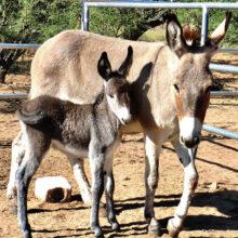 Mama burro Rosie and baby Rosetta; photo courtesy of Joie Giunta.
