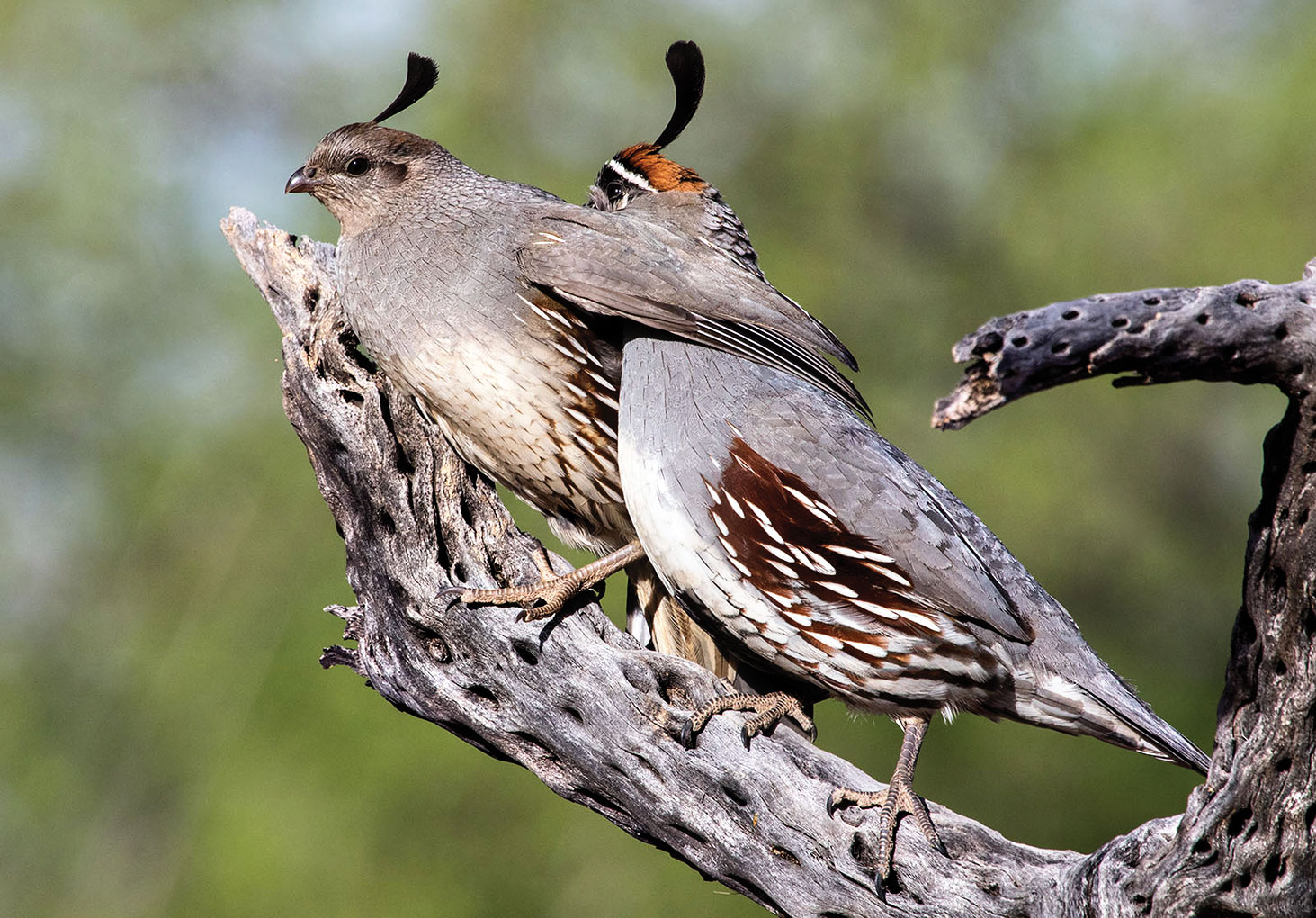 Jeff Krueger's first place photo, Affection Quail Style