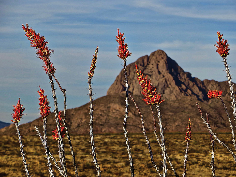 Second Place Ocotillo Birthday by Steve Piepmeier