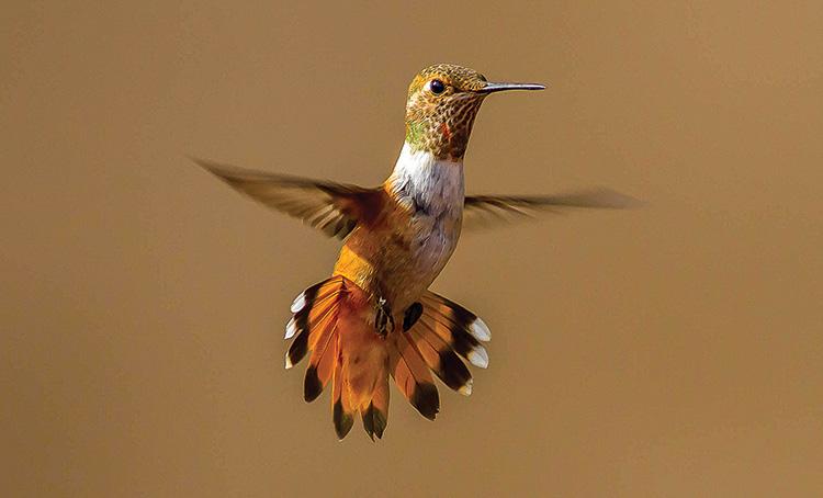 2nd Place - Rufus Hummingbird by Nick Pulcinella