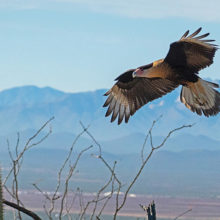 1st Place - Crested Caracara Landing by John Tubbs