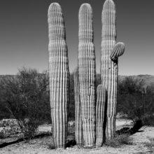 Three cacti black and white (Photo by Deb Nesbitt)