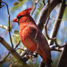 Early morning cardinal (Photo by Ron Skelton)
