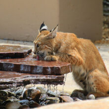 "1st place, entry 30, Monte Hudson's ""Bobcat at Fountain"""