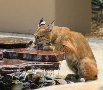 """1st place, entry 30, Monte Hudson's """"Bobcat at Fountain"""""""