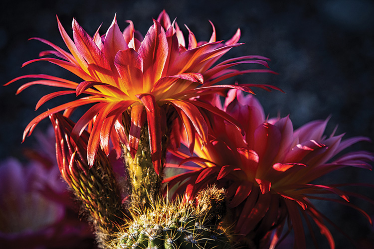 """2nd place, entry 04, Ron Skelton's """"Cactus Flower at Sunrise"""""""