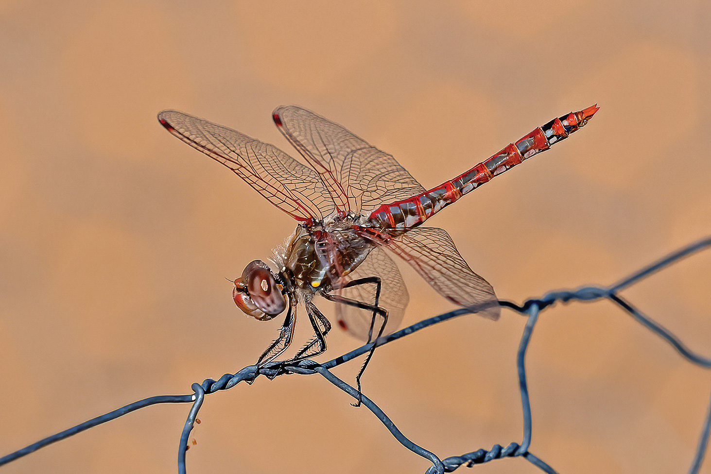John Tubbs took second place with his photo Variegated Meadowhawk Dragonfly.